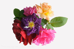 "2016_366161 - Rose Collection • <a style=""font-size:0.8em;"" href=""http://www.flickr.com/photos/84668659@N00/27466223552/"" target=""_blank"">View on Flickr</a>"