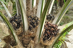 Harvestable Oil palm fruits (Lim SK) Tags: