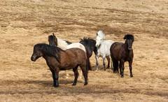 Icelandic punks, new romantics and ... 'fros (lunaryuna) Tags: horses animals iceland spring hairdo lunaryuna punks wildhorses mane icelandichorses northiceland seasonalchange lookingfunny changingfur weatheringtheweather