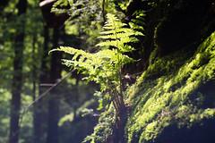 Fern (martinstelbrink) Tags: leica light shadow fern rock forest germany licht sony saxony canyon valley sachsen fels 90mm wald schatten f28 farn tal schlucht schsischeschweiz elbsandsteingebirge elmarit a7r elbesandstonemountains leicaelmarit90mmf28i alpha7r voigtlndervmeadapterii