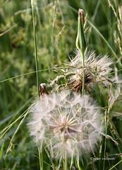 02-IMG_2435 (hemingwayfoto) Tags: blume bocksbart natur samenstand schirmchen tragopogonpratensis wiesenbocksbart wiesenblume