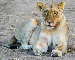 Golden Beauty (MarcCooper_1950) Tags: lion lioness africa wild wildlife bush safari bigfive predator bigcats biggame animals feline fauna goldenhour sabisands arathusa lodge marccooper panasonic lumix fz1000 leica iightrrom hdr