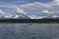 Dorsel Fin NP 5373 ( Gillfoto) Tags: alaska juneau whale humpback dorselfin northpass