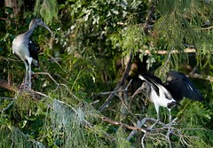 Jul 26 20165743 (Lake Worth) Tags: animal animals bird birdwatcher birds canonef500mmf4lisiiusm canoneos1dxmarkii everglades feathers florida nature outdoor southflorida waterbirds wetlands wildlife wing