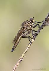 Asilidae sp. (fabrizio daminelli ) Tags: wild macro nature canon insect wildlife natura predator tamron insetto asilidae predatore dittero fabriziodaminelli
