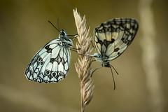 Vice versa (Mathieu Calvet) Tags: macro nature butterfly pentax bokeh 100mm papillon 100 mariposa k3 tarnetgaronne occitanie midipyrnes demideuil fa100macro justpentax pentaxart