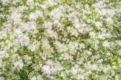 Flora Plenteous 62 (pni) Tags: flower multiexposure multipleexposure tripleexposure helsinki helsingfors finland suomi pekkanikrus skrubu pni plant