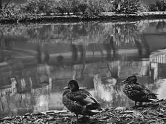 (photo.po) Tags: canongseries canong10 canoncompact canon monochrome blackandwhitephotography blackandwhite reflections ducks mallards riverwalk satx tx