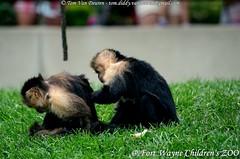 witschouderkapucijnaap - Cebus capucinus - White-headed capuchin (MrTDiddy) Tags: white mammal head indiana wit aap headed fortwayne capuchin schouder cebus fortwaynechildrenszoo whiteheaded zoogdier kapucijnaap capucinus kapucijn witschouderkapucijnaap