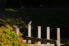 IJsvogel  20-7-2016 (Walter van Ooijen) Tags: nature netherlands dutch sony nederland natuur sigma kingfisher bommelerwaard gelderland brakel staatsbosbeheer flickrsbest nederlandvandaag sigma18250mm