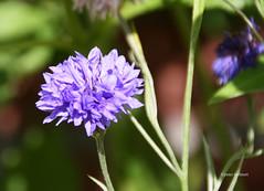 7-IMG_3396 (hemingwayfoto) Tags: blhen blte blume botanik flora garten kornblume natur pflanze pflanzenart zierpflanze