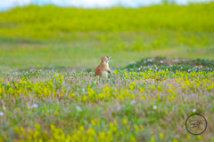 Prairie Dog Town (breann.fischer) Tags: prairiedog theodorerooseveltnationalpark nature wildlife prairielife badlands greatplains landscape animals northdakota nd2016contest