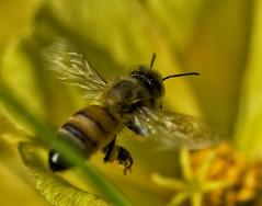 Bee_SAF3448 (sara97) Tags: bee copyright2016saraannefinke flyinginsect insect missouri nature outdoors photobysaraannefinke pollinator saintlouis towergrovepark urbanpark wildlife
