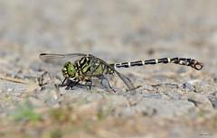 auf Augenhhe (svensonkra26) Tags: libelle insekt zangenlibelle edellibelle outdoor august rheinsiegkreis nrw fluss