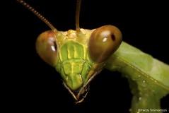 Praying mantis close-up (Ferdy Timmerman) Tags: praying mantis predator animal insect carnivore macro nikon d90 nikkor 105 micro 28 sharp panama