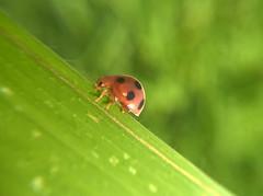 Ladybug (Shaikh Gaffar) Tags: macro ladybug mumbai india mobile