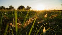 Desolved Leaf (Landstre1cher) Tags: warmlight green yellow sunset evening eveninglight leaf grass