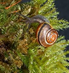 Speedy on Moss 1 (Sybalan,) Tags: macro tuition workshop fungi mosses flowers snail fun nature gastropod scotland garden strip studio lighting indoors naturewildlife plants lichen