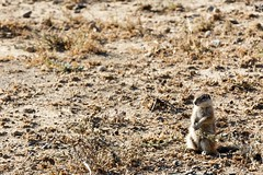 Ground Squirrel YES Sir - Mountain Zebra National Park (markdescande) Tags: grass portrait natural cape mammal nationalparksouthafrica standing background animal looking national panoramic herbivore reserve african equus stare white pattern stripes landscape face endangered mountainzebra black outdoor south wild africa mountainzebranationalpark naturereserve nature zebra kenya savanna southern striped gazelle safari wildlife grassland park capemountainzebra conservation wilderness mountain