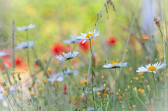 A rest of summer! (pat.thom974) Tags: flower red summer daisy