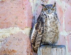 Great Horned Owl[Explored] (BernieErnieJr) Tags: hawkquest greatphotographers greathornedowl bird birdsofprey raptor owl frontrange teamsony rockymountains sony70400mmg2 sonya77mkii captive