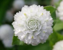 Globe Amaranth (gomosh2) Tags: whiteflower globeamaranth flowermacro