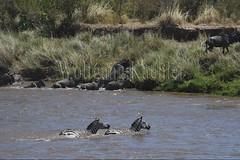 10078284 (wolfgangkaehler) Tags: 2016africa african eastafrica eastafrican kenya kenyan masaimara masaimarakenya masaimaranationalreserve marariver wildlife migration migrating crossing crossingriver crossingstream zebras plainszebrasequusquagga burchellszebra burchellszebraequusquagga burchellszebras