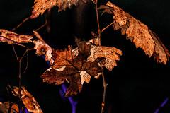 Otoal (seguicollar) Tags: otoo hojas leaves marrn autum imagencreativa virginiasegu vegetal plantas rbol artedigital arte art artecreativo hank you