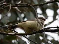 Buff-rumped Thornbill (CedricBear) Tags: birds thornbill harrison australiancapitalterritory australia au wildlife