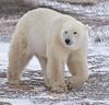 Bear Beauty (Roaming the World) Tags: canada manitoba polarbear churchill polarbears globalwarming 北极熊 wildpolarbear