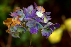 Autumn Hydrangea (www.jamesgreigphotographer.com) Tags: