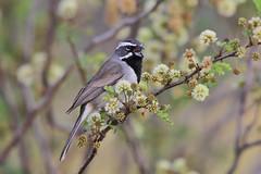 Black-throated Sparrow (Alan Gutsell) Tags: statepark bird sparrow westtexas blackthroated blackthroatedsparrow naturephoto wildlifephoto texasbird emberizine alangutsell
