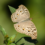 """Butterfly <a style=""""margin-left:10px; font-size:0.8em;"""" href=""""http://www.flickr.com/photos/129082089@N05/15450744504/"""" target=""""_blank"""">@flickr</a>"""