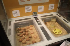 Chicks hatching! (ironypoisoning) Tags: boston mos chicks museums hatching museumofscience