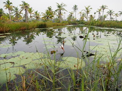 Water Lilies Backwaters Kerala India Seerosen Indien Asien (c) (hn.) Tags: flowers copyright india flower green nature water pond asia asien heiconeumeyer wasser december waterlily indian natur blumen kerala palmtrees waterlilies palmtree blume teich palme indien backwaters coconutpalm backwater southindia cocotier keralabackwaters cocotiers southasia copyrighted palmen seerose 2014 waterplant seerosen coconutpalms indisch godsowncountry munroeisland wasserpflanze kokosnusspalme kokospalme nymphaeceae keralan keralanbackwaters coconutpalmtree kollamdistrict keralabackwater munroethuruthu munrothuruthu blten blte munroisland grn sdasien sdindien munroethurutthu munroeturuttu munrothurutthu munroturuttu peringalam perugalam keralanbackwater seerosengewchse tp201415