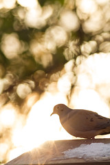 Mourning Dove / Tourterelle Triste. (al0589) Tags: autumn winter snow bird fall birds bokeh dove feeder lensflare mourningdove ornithology contrejour intothesun tourterelle 400mm sortof wildilfe tourterelletriste 40056