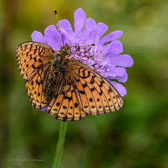 Fritillary Butterfly (FotoCorn) Tags: macro butterfly insect nikon insects papillon schmetterling vlinder d810 duifkruid nikond810 lan3951201408091139
