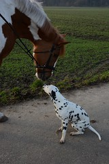 DSC_3962 (Joachim S. Mller) Tags: horse dog germany deutschland hessen hund pferd dalmatian paikea dalmatiner pfungstadt eschollbrcken  jambalayasecret