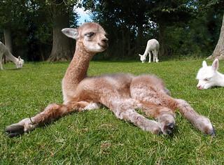 Bébé Alpaga