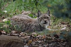 LINCE EUROPEA   Lynx lynx - Parcozoo della Fauna europea  di Poppi (Arezzo) (Massimo Greco *) Tags: ngc npc felini lynxlynx massimogreco linceeuropea nikond7100 tamronsp150600f563 parcozoodipoppiar