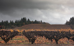 Dry Creek Fall Color #1 (Tom Moyer Photography) Tags: california vineyard vines fallcolor sonomacounty winecountry drycreekvalley