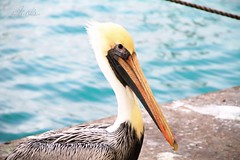 (Judith B. Photography) Tags: nature beautiful birds animals fauna marina canon colorful florida miami pelican boating naturephotography naturelovers canon7d miamiphotography