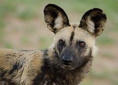 African Wild Dog - Lycaon pictus (lyn.f) Tags: wild dog african botswana chobe lycaonpictus paintedwolf