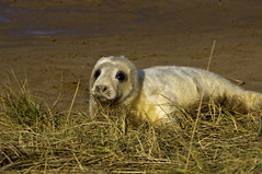 Seal Pup (Triker-Sticks) Tags: white beach nature coast lincolnshire seal pup widlife greyseal donnanook
