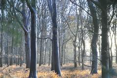 Beukenburg bos in late middaglicht (helena_is_here) Tags: winter utrecht bos landschap zonlicht kleuren varens zonnestralen beukenburg hoogekampseplas