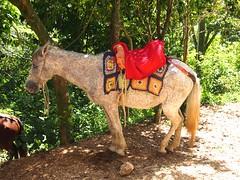 PB250358 (lnewman333) Tags: horse haiti citadel unesco worldheritagesite cap caribbean ocap fortress saddle hispaniola citadelle westindies milot caphaitian citadellelaferrire henrichristophe laperledesantilles northernhaiti pearloftheantilles citadellehenrychristophe greaterantilleanarchipelago
