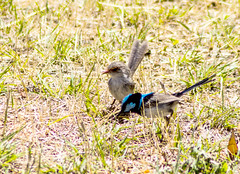 _MG_6400 (rojam1000) Tags: bird birds superb fairy finches bluefacedhoneyeater variegated wren rainbowlorikeet magpies rosellas redrumpedgrassparrots