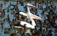Lost in a crowd (Martin Snicer Photography) Tags: park new cute bird nature water birds animals lost photography photo pond flickr pics wildlife postcard sydney ducks surreal award peaceful australia pic pelican explore picturesque soe centennialpark autofocus 100commentgroup