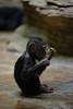 Baby Chimpanzee (ray2pixel) Tags: nikon korea chimpanzee themepark everland 2014 d610
