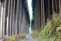 清滝 北山杉 (GenJapan1986) Tags: 2014 京都市 京都府 日本 nikond600 japan kyoto